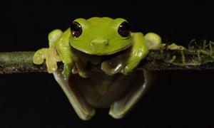 LOST LAND OF THE VOLCANO: endangered Litoria Sauroni frog, Mount Bosavi volcano, Papua New Guinea