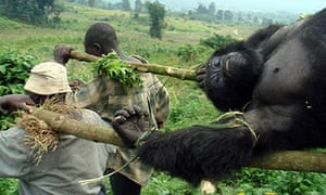 Congo gorilla massacre