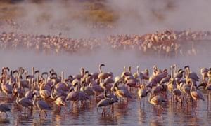 Scott flamingoes