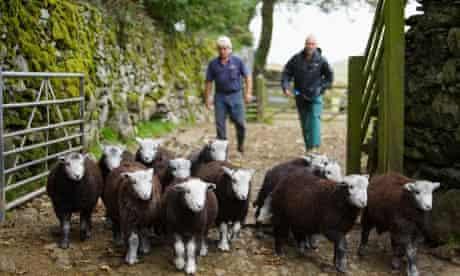 Sheep  on Baskell Farm in Cumbria