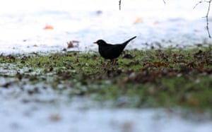 Wildlife in the snow: Male blackbird looking for food