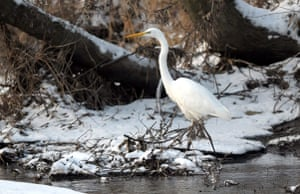 Wildlife in the snow: Great white egret with a fish in its beak in France.