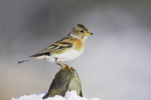 Wildlife in the snow: Female Brambling perched in the snow