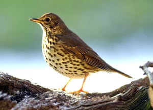 Wildlife in the snow: A thrush