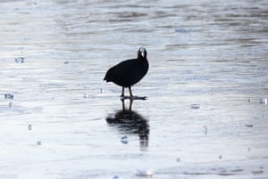 Wildlife in the snow: Coot walks on the ice on a frozen Connaught Waters, Epping Forest