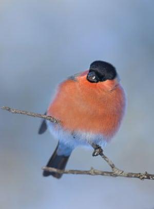 Wildlife in the snow: Bullfinch on a perch