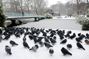 Snowing again: Pigeons in St James' Park, London