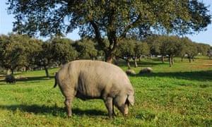 Pata Negra, the Black Iberian pig