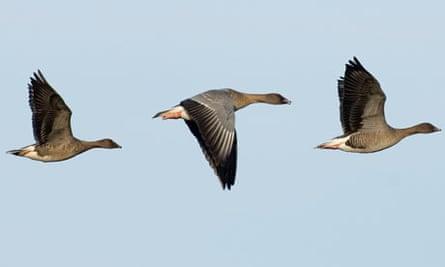 Pink footed Geese Anser brachyrhynchus North Norfolk winter