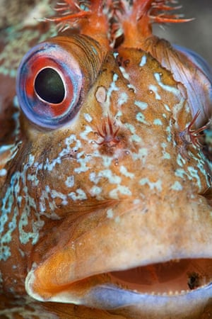 BWPA: A close-up portrait of a tompot blenny (Parablennius gattorugine)