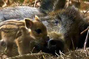 BWPA: Wild Boar (Sus scrofa) with Piglets