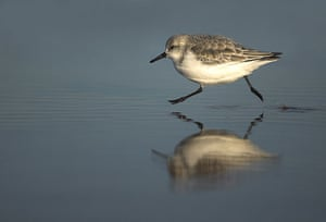 BWPA: Sanderling running by Danny Green