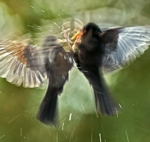 BWPA: Blackbirds Fighting by David Slater