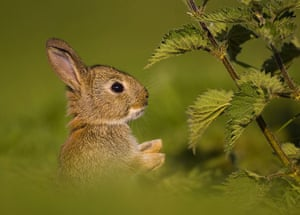 BWPA: Rabbit kitten with nettles by Andrew Parkinson