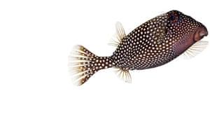 "Moorea: Whitespotted Boxfish, Ostracion Meleagris, 6"" long"