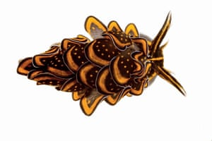 """Moorea: Sacoglossan Sea Slug, Cyerce Nigricans, 0.6"""" long"""