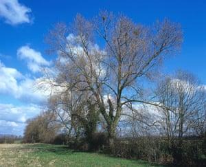 Black Poplars: A row of native black poplars growing near Long Marston Vale of Aylesbury