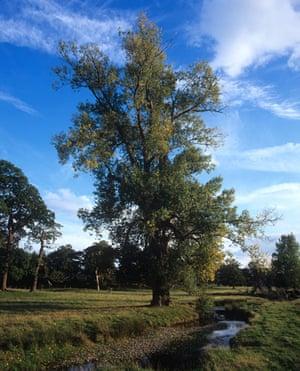 Black Poplars: The tallest native black poplar in Britain