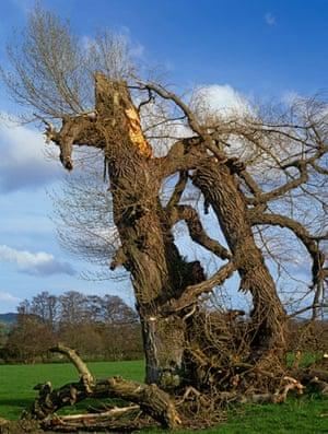 Black Poplars: Dying Native Black Poplar, Denbighshire, North Wales