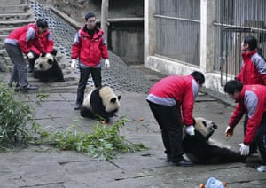 Chinese pandas: Caretakers catch pandas to be sent from Sichuan to Shanghai