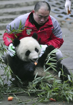 Chinese pandas: A caretaker catches a panda