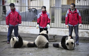 Chinese pandas: Three giant pandas are fed before heading to Shanghai