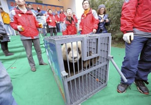 Chinese pandas: A giant panda inside a cage