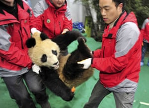 Chinese pandas: A giant panda is transported into a cage