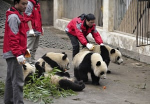Chinese pandas: Gaint pandas at Bifengxia panda breeding centre