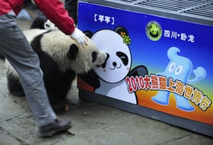Chinese pandas: Ping Ping near a cage to be used for the panda's transportation