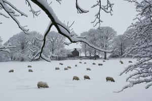 snow: Bury, Greater Manchester: Sheep in heavy snow on Holcombe Hill