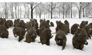 Baboons with potatoes