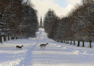 Winter weather: Ripon, North Yorkshire: Deer cross a snow-covered road at Fountains Abbey