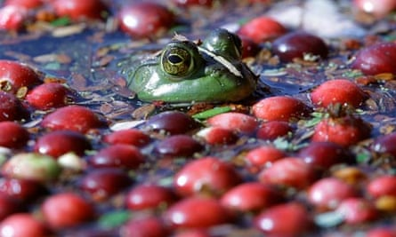 A frog floats with cranberries awaiting harvest on a cranberry bog in Wareham, Massachusetts