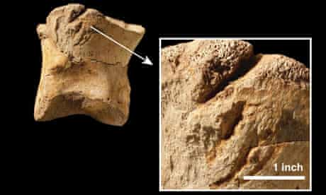 Gouges on the toe bone of a T. rex