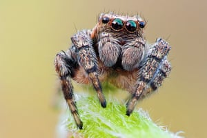 BUG Photography: A 5mm long jumping spider