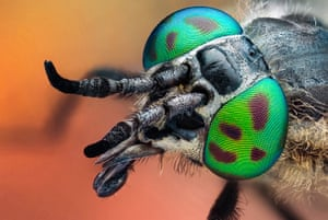 BUG Photography: Studio image of a horse fly