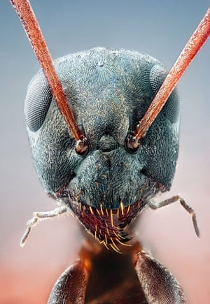 BUG Photography: Studio image of a Black ant