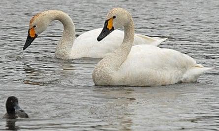 Bewick's swans at Slimbridge