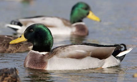 Woman Told Off For Giving Ducks Wrong Kind Of Bread Wildlife