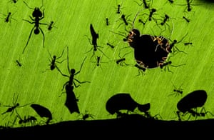 Veolia Wildlife 2010: Leaf Cutter Ants - Wildlife Photographer of the Year 2010