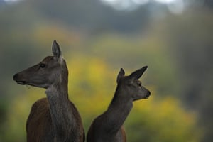 Week in wildlife: Deer are seen during their rutting season in the Studley Royal park