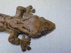 New species in Amazon: Thecadactylus solimoensis