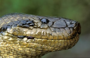 New species in Amazon: Anaconda boliviana (Eunectes beniensis)
