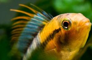 New species in Amazon: Apistogramma baenschi