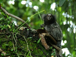 New species in Amazon: Mico acariensis