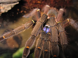 New species in Amazon: Ephebopus cyanognathus