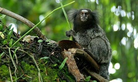 New species in Amazon: Rio acari marmoset
