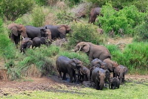 Elephant v Crocodile: 2 The elephants at the waterhole
