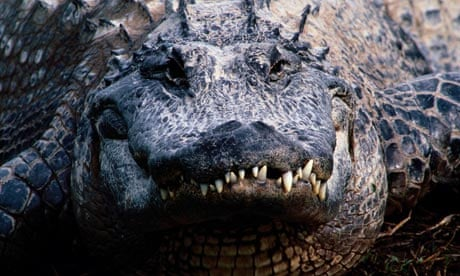 Search for stolen and aggressive 5ft alligator | UK news
